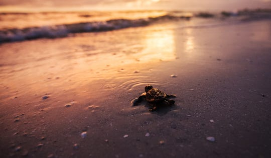 File: Loggerhead sea turtle hatchling makes its way to the Gulf of Mexico