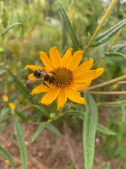 A bumblebee pollinating a dune sunflower at the Leon County Extension Office.
