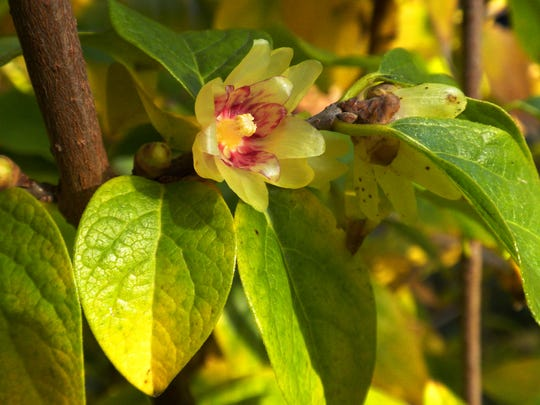 Wintersweet is native to China, and rather commonly grown now in gardens.