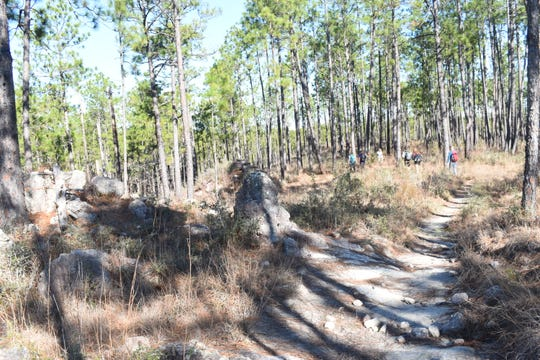 The Backbone Trail located in the Kisatchie Hills Wilderness Area near Natchitoches is about 7.5 miles long one way. The trail is popular with hikers who like that it is a challenging trail with sandstones and elevated views of the forest.