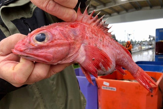 Kevin Dunn, who fishes off the coasts of Oregon and Washington, holds a rockfish at a processing facility in Warrenton, Oregon.