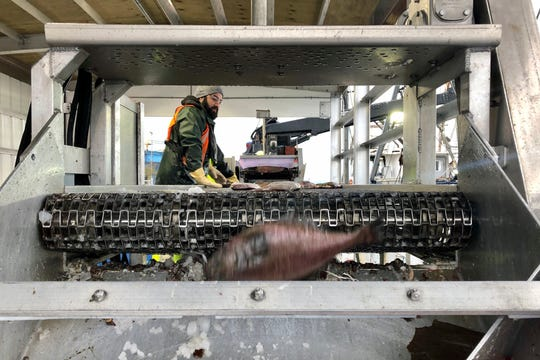 A worker sorts fish being unloaded from a bottom trawler containing rockfish and other groundfish species in Warrenton, Oregon.