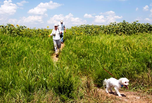 Tori, front right, races ahead of owners Mona and Gary Sanders, center, as they walk the trail from the sunflower fields in Blue Grass FWA Friday afternoon, Aug. 2, 2019.