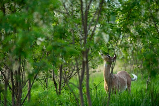 A white-tail deer nibbles the leaves in a stand of black locust trees at Friedman Park in Warrick County Thursday evening. (Shot 5/9/19)