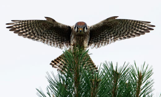A female American kestrel, also known as a sparrow hawk, comes in for a landing atop a pine in Southern Gibson County, Ind., Tuesday afternoon. (Shot 6/4/19)