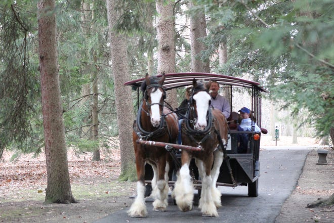 Residents enjoyed Thursday's 60 degree weather at the Rutherford B. Hayes Presidential Library and Museums, with the South Creek Clydesdales offering horse-drawn sleigh rides through Spiegel Grove. The rides will continue daily at the Hayes center through Dec. 31.