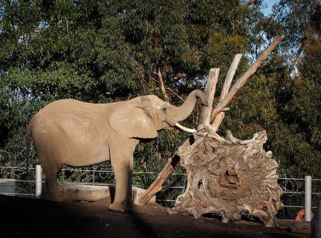 An elephant plays on Wednesday, Dec. 25, 2019, at the San Diego Zoo in San Diego, Calif.