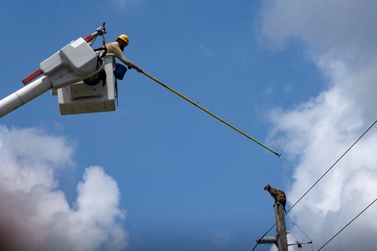 A utility worker attempts to coax a bobcat off an electric pole Thursday, May 9, 2019, near the Florida Panther National Wildlife Refuge in Collier County.  Eventually, the bobcat crawled down the pole and ran into the brush.