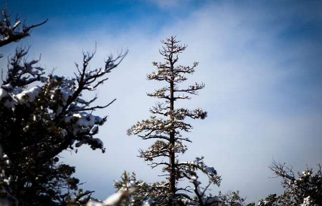 An old Ponderosa Pine stands with snow on it after an overnight snowfall near Payson on Dec. 26, 2019.