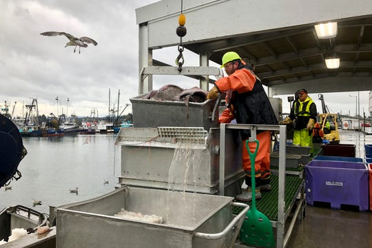 A worker prepares to dump a bucket of fish onto a conveyor belt for sorting after the fish were unloaded from a bottom trawler containing rockfish and other groundfish species in Warrenton, Ore.