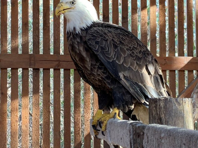 This bald eagle was suffering from lead poisoning but has been healed at the Raptor Rehabilitation Program at Dickerson Park Zoo.