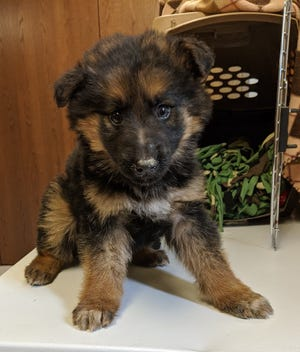 German shepherd puppies that were left on the side of the freeway.