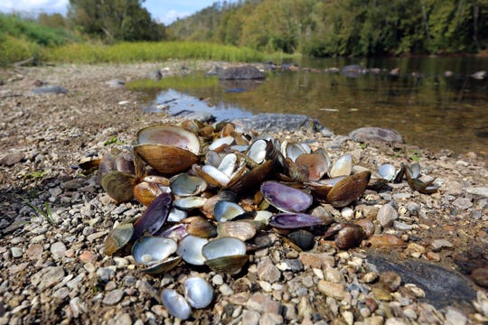 In this Oct. 17, 2019, photo provided by the U.S. Fish and Wildlife Service, a pile of recently dead freshwater mussels are piled along the shore of the Clinch River near Wallen Bend, Tenn.
