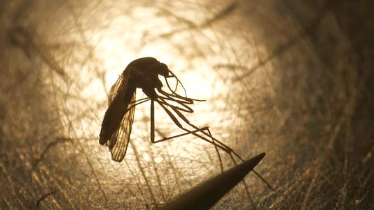 Salt Lake City Mosquito Abatement District biologist Nadja Reissen examines a mosquito in Salt Lake City. Eastern equine encephalitis, a rare and deadly mosquito-borne illness, saw a small but worrisome increase in the summer of 2019.