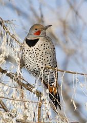 A Northern Flicker; a species of woodpecker, perches in the brush in the depths of a Montana winter. Flickers are commonly spotted during the annual Christmas Bird Count. The National Audubon Society relies on the data collected by volunteers to learn about the status of birds.