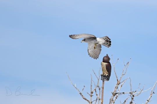 A Northern Goshawk exhibits attacks a decoy great-horned owl at a raptor observation site in the Big Belt Mountains. The raptors are well known for aggressively defending their nests. Two Northern Goshawks were spotted during the 2019 Christmas Bird Count