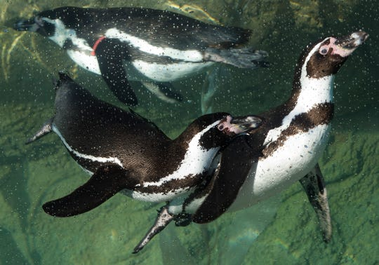 Greet the penguins at the Milwaukee County Zoo Saturday, when admission is free on the year's first Family Free Day.