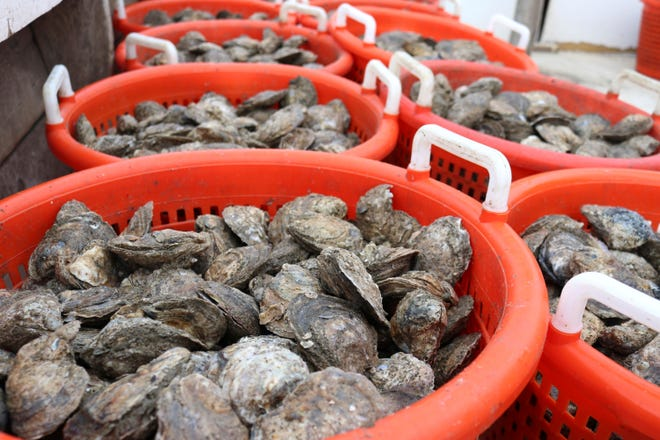 Bushels of oysters are gathered on a boat on the Chesapeake Bay in southern Maryland.