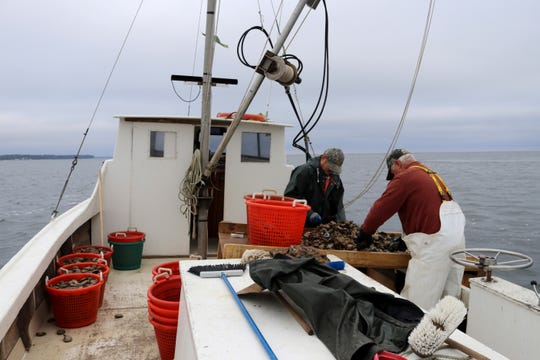 In a Tuesday, Nov. 19, 2019 photo, Robert T. Brown, right, president of the Maryland Waterman's Association, and Matt Bernd pick oysters off of a culling board while dredging in the Chesapeake Bay in southern Maryland. (AP Photo/Brian Witte) A study estimated market-sized oysters dropped from 600 million in 1999 to about 300 million in the Maryland portion of the bay in 2018. (AP Photo/Brian Witte)