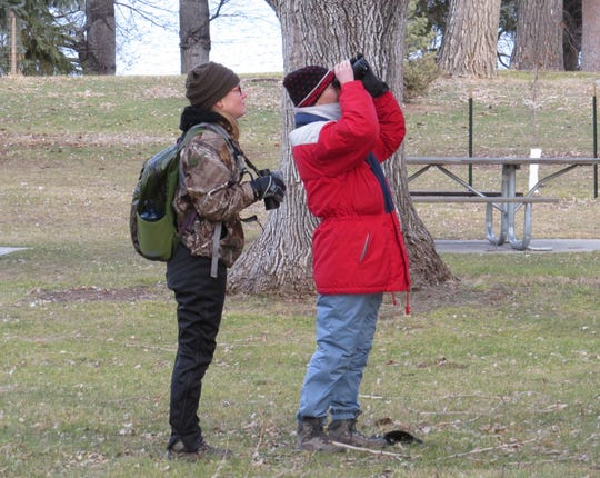 Sarah Mizener (left) and Jaye Sedlack look at a Great  Horned Owl tucked deep in a spruce tree at Giant Springs State Park. Mizener and Sedlack were among the 34 birders who participated in the Upper Missouri River Breaks Chapter's Christmas Bird Count on December 21.