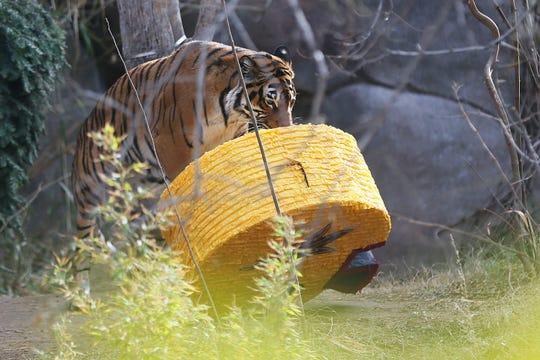 Seri the tiger predicts ASU will win the Tony the Tiger Sun Bowl at El Paso Zoo Saturday, Dec. 28, in El Paso.