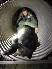 Officials remove a bear from Lindsey Nelson Stadium on the University of Tennessee campus on Sunday, Dec. 29, 2019.