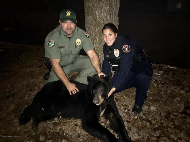 TWRA and UTPD officers remove a bear from Lindsey Nelson Stadium on the University of Tennessee campus on Sunday, Dec. 29, 2019.