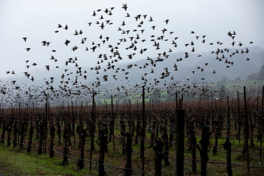 Birds fly over a vineyard in Sonoma County, Calif. on Dec. 18, 2019.