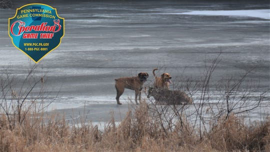 The Pa. Game Commission is looking for the owner of two dogs who chased down and killed a deer in Luzerne County.