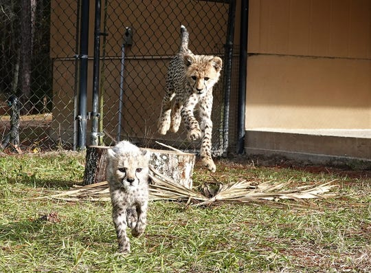 Gomez is living the cheetah life in Florida with his new adopted sister, Morticia.