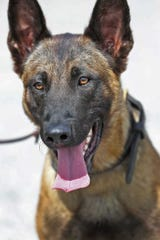 A Fishers police K-9, Harlej, was fatally shot while pursuing a suspect on Nov. 13, 2019. Hundreds attended the funeral of the 5-year-old Belgian Malinois, who was courageous and ferocious on duty, handlers said, but would also wag his tail and let children pet him.