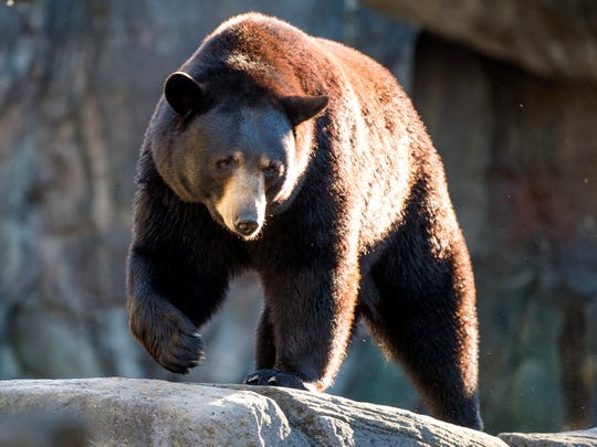 Black bears roam their habitat at Zoo Knoxville on Monday.