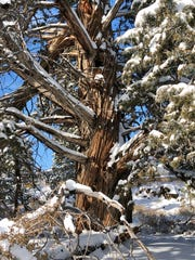 A western juniper covered in snow along the Deschutes River Trail