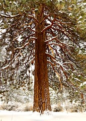 A ponderosa pine along the Deschutes River  Trail