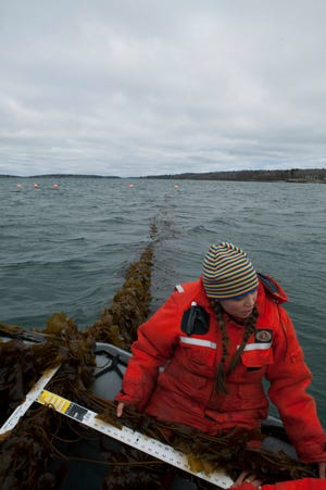Laboratory Research Associate Brittney Honisch measures a piece of sugar kelp before harvest in Casco Bay, Maine. A group of scientists with Bigelow Laboratory for Ocean Sciences and farmers in northern New England are working on a plan to feed seaweed to cows to gauge whether it can help reduce greenhouse gas emissions that contribute to climate change.