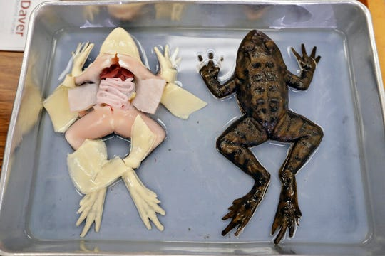 In this Wednesday, Nov. 20, 2019 photo, synthetic frogs from Syndaver Labs sits in a tray during a biology class at J.W. Mitchell High School in New Port Richey, Fla.