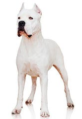 The dogo Argentino is a powerful Argentinian big-game hunter.