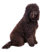 The barbet is a sociable French water dog.