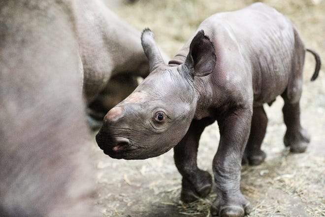 Potter Park Zoo's baby black rhino calf with mother Doppsee. The zoo held a naming contest for the baby boy.