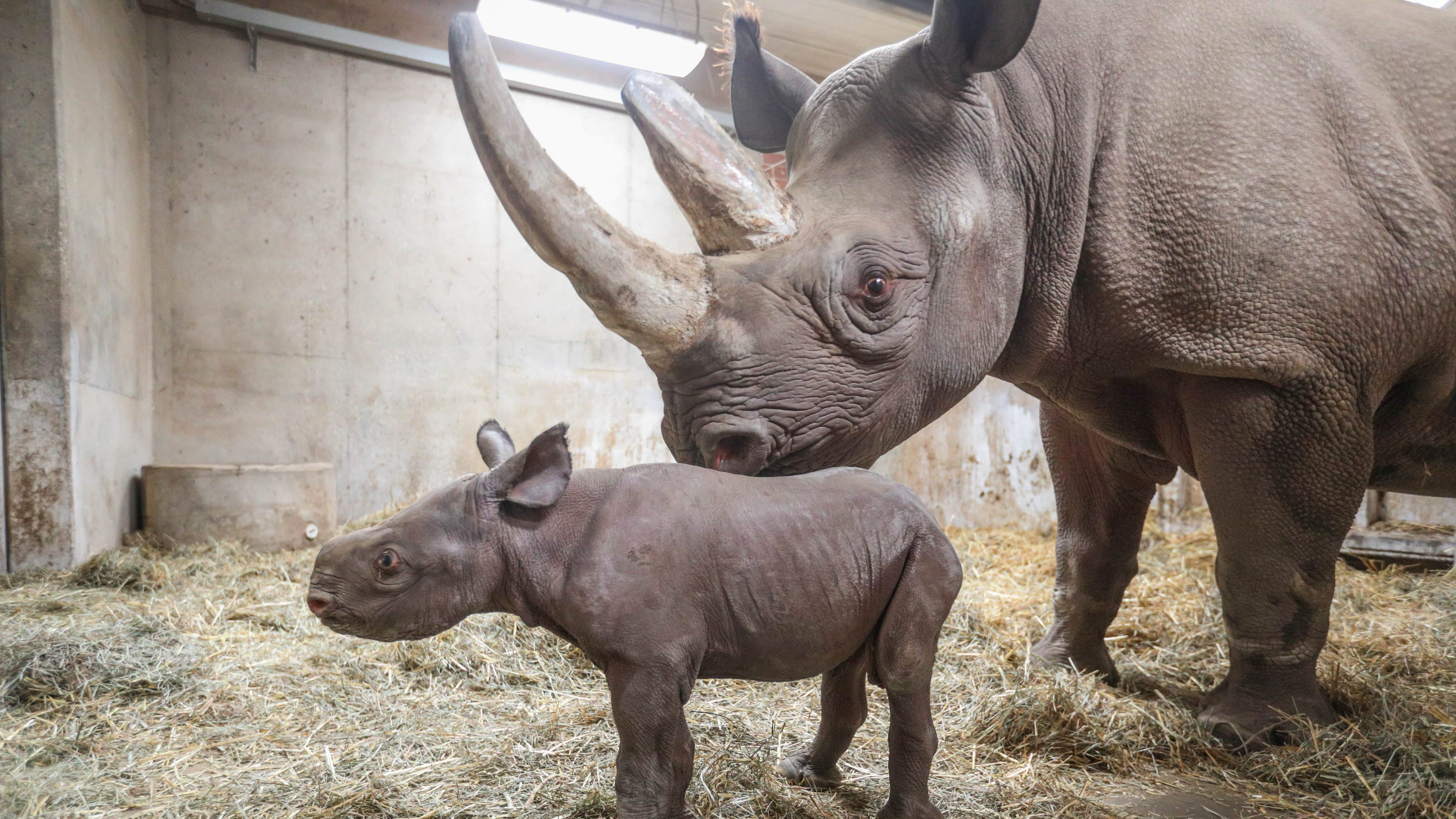 The results are in: Potter Park's baby black rhino now has ...