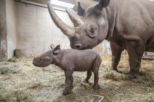Jaali, Potter Park Zoo's baby black rhino at 1-week-old, with mother Doppsee.