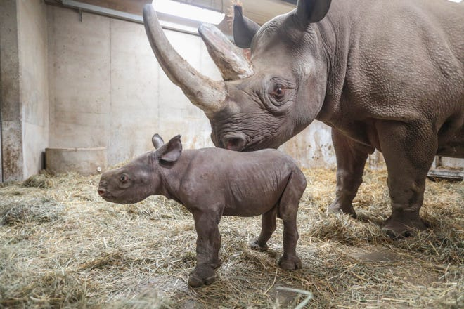 Potter Park Zoo's baby black rhino calf at 1-week-old, with mother Doppsee. The zoo held a naming contest for the baby boy.