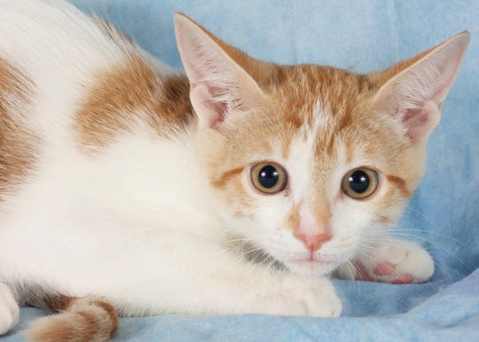 Elaine is available for adoption at 952 W. Melody Ave. in Gilbert. For more information, call 480-497-8296 or email fflcats@azfriends.org.