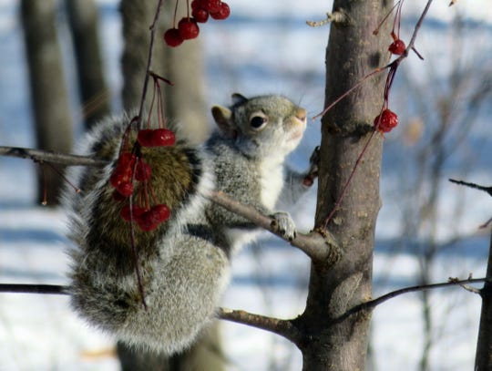 Squirrels eat a wide variety of food in the winter as they try to survive the cold.