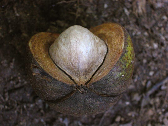 The nuts are edible, and sweet, although a bit of work to extract from the shell.