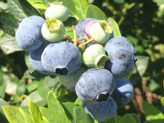 Colossus blueberry variety.