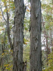 Shagbark hickory produces a large fruit with a hard kernel.