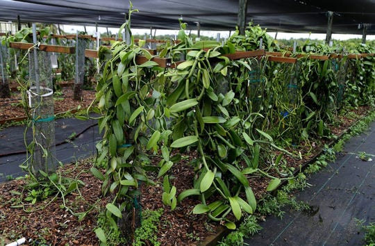 Different varieties of vanilla vines being studied at the University of Florida's Tropical Research and Education Center in Homestead, on Thursday December 19, 2019.