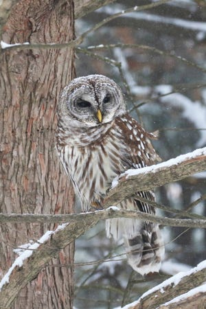 Barred owls sometimes call and hunt during daylight hours, especially in inclement weather that may have prevented their feeding at night.