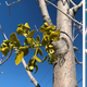 A broadleaf mistletoe infects a young ash tree in two different parts of the same canopy on Indian School Road in Albuquerque. The smaller sprout, right, is tiny, but the swollen branch is a likely sign that the infection is deeper than it looks and may be permeating throughout the entire trunk.